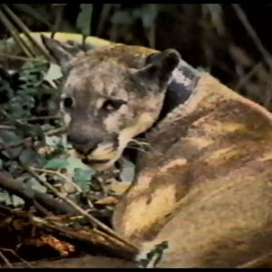 Tracking Florida Panthers; Fishing for Muskie | Time Warp Classics